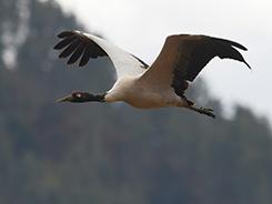 Black-necked Crane in Bhutan