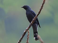 Black-winged Cuckooshrike in Bhutan from Menchuna village