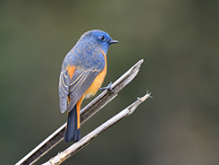 Blue-fronted Redstart in Bhutan