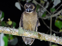 Brown Wood Owl recorded in Bhutan