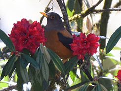 Chestnut Thrush a rare bird for Bhutan but possible during early spring birding in Bhutan with your birding experts of Bhutan