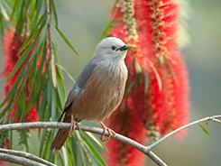 Chestnut-tailed Starling in Bhutan