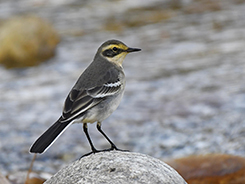 Citrine Wagtail seen on our best bhutan travel trip with Langur Eco Travels
