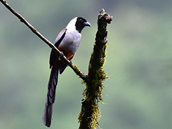 Collared Treepie from the tropical forests of Panbang