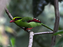 Common Green Magpie from our bhutan birding tour