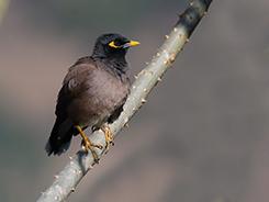 Common Myna common bird in Bhutan