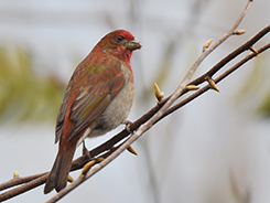 Crimson-browed Finch on our 12 day bhutan bird watching tour package