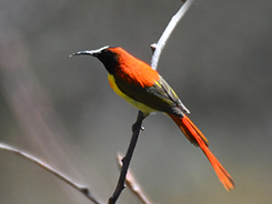 Fire-tailed Sunbird seen at high altitudes in Bhutan on our 14 days Bhutan birding trp