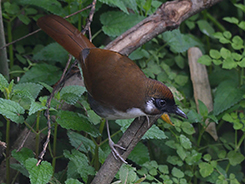 Grey-sided Laughingthrush from our Bhutan birding tour archive