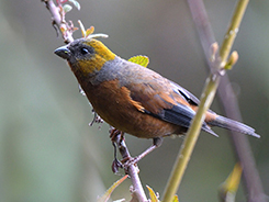 Gold-naped Finch seen with the best birding guides of Bhutan