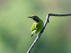 Golden-fronted Leafbird in Bhutan