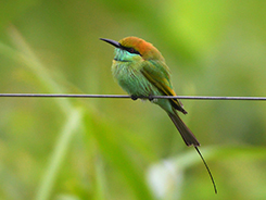 Green Bee-eater in Bhutan with one of the only few birding tour agents in Bhutan