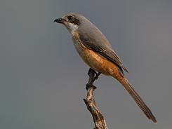 Grey-backed Shrike in Bhutan with Langur Eco travels
