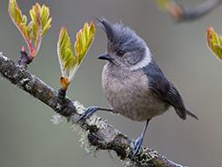 Grey-crested tit in Bhutan
