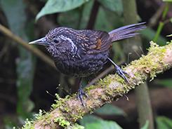 Himalayan Wedge-billed Babbler or Sikkim Wedge-billed Babbler in Bhutan with Langur Eco Travels