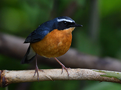Indian Blue Robin seen from late spring through the summer in Bhutan