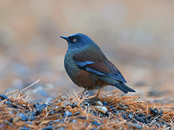 Maroon-backed Accentor seen on our Bhutan hiking tour with Langur Eco Travels