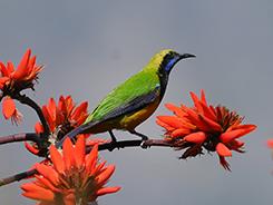 Orang-bellied Leafbird