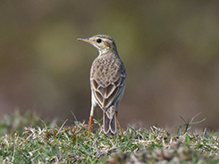 Paddyfield Pipit seen during the best season to visit Bhutan