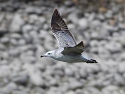 Pallas's Gull in Bhutan