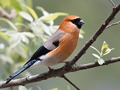 Red-headed Bullfinch seen on our 8 days Bhutan bird trip package with Langur Eco Travels