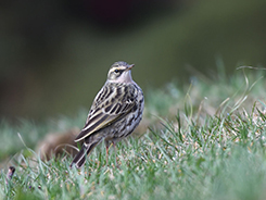 Rosy Pipit seen on our Bhutan holiday trips with Langur Eco Travels