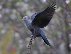 Speckled Wood Pigeon in Bhutan