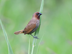 Scaly-breasted Munia seen on our 10 days bhutan bird tour