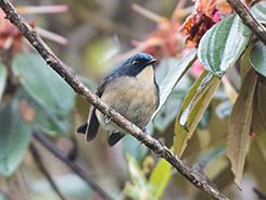 Slaty Blue Flycatcher in Bhutan