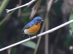 Slaty-backed Flycatcher seen at Tingtibi during our Spring time birding in Bhutan