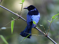 Spangled drongo seen in Bhutan with Langur Eco Travels one of Bhutan's best travel guides