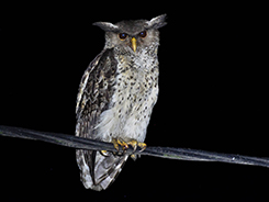 Spot-bellied Eagle Owl in Bhutan from our birding tour in the himalayan kingdom of Bhutan
