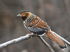 Spotted Laughingthrush from our Bhutan birds and mammal tour archive