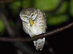 Spotted Owlet in Bhutan