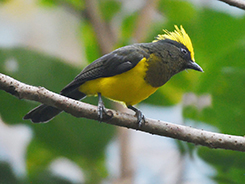 Sultan Tit recorded in Bhutan on our Bhutan birding tours with Langur Eco Travel
