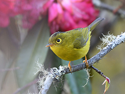 Whistlers warbler from Bhutan
