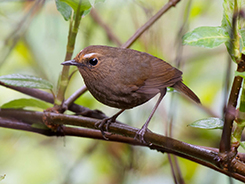 White-browed Shortwing in Bhutan