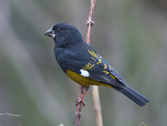 White-winged Grosbeak seen on our Budget birding tour to Bhutan with Langur Eco Travels