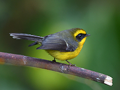 Yellow-bellied Fantail seen in Bhutan with Langur Eco travels