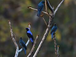 Asian Fairy Bluebird from Samdrup Jongkhar in south eastern Bhutan