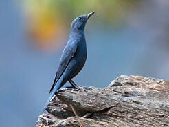 Blue Rock Thrush from Zhemgang road in central Bhutan