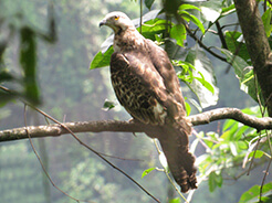 Bonelli's Eagle from Zhemgang road in central Bhutan