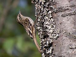 Brown-throated Treecreeper from Nobding Bhutan