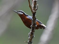 Chestnut-bellied Nuthatch from Bhutan birding tour