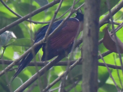 Chestnut-winged Cuckoo seen on our Bhutan birds and buddhism tour in Bhutan