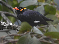 Common Hill Myna from Tingtibi forest in Bhutan