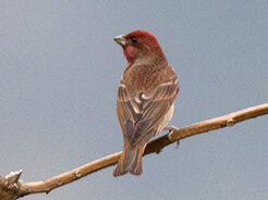 Common Rosefinch from our Bhutan bird watching tour in Feb 2020