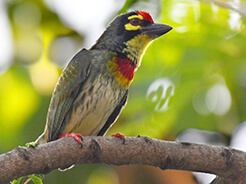 Coppersmith Barbet from Gelephu in south central Bhutan