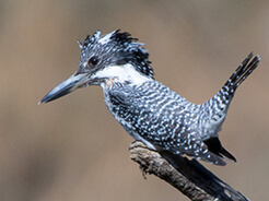Crested Kingfisher from Bhutan birding tours 2019