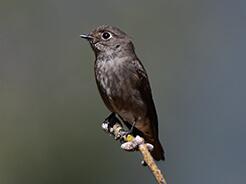 Dark-sided Flycatcher in Bhutan from our birding tours